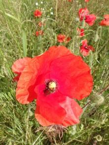 July poppy