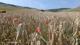 Ready for harvest, Standean Bottom