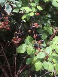 Autumn blackberries