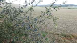 Sloe Berries, Rout's Green