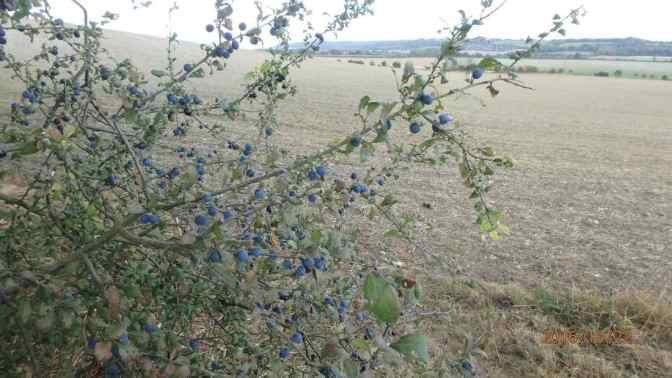 Sloe Berries, Rout's Green