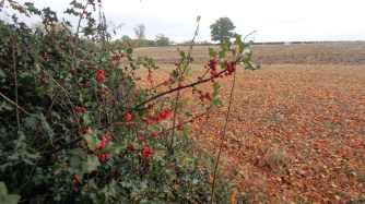 Holly berries, Hastoe