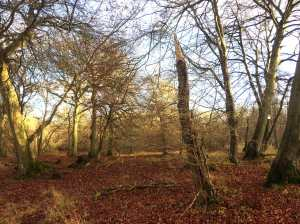 Beech in Cowleaze Woods