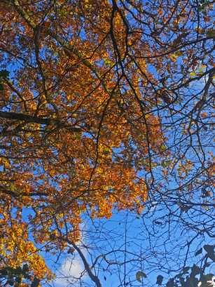 Last of the oak leaves