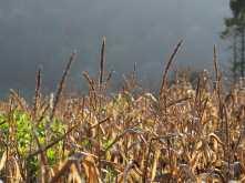 Winter Maize