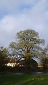 Hampden-Common-oak