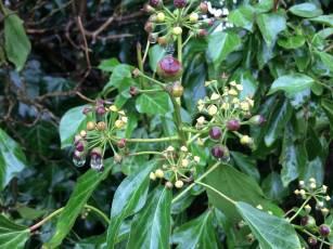 Ivy-flowers