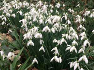 Brill-Snowdrops