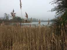 Rushes-in-February,Marsworth-Reservoir-