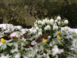 Snowdrops-against-a-gravestone,-St-Botolph's-Swyncombe