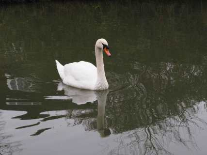 Swan,-Grand-Union-Canal,-Marsworth,-Bucks
