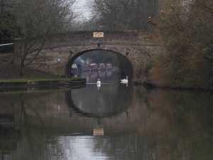 Swans-on-the-Grand-Union,-Marsworth