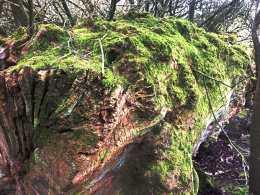 Winter-moss