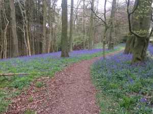 Bluebell path through Greenhill Wood, Pishill
