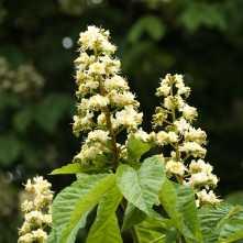 Sweet-chestnut-blossom