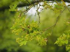 Oak-blossom