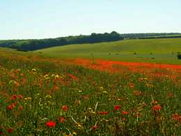 Summer-poppies,-Goring