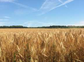 Barley-harvest,-Harlington