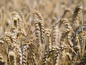 White-unto-harvest