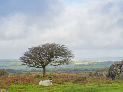 Sheep-on-Prewley-Moor