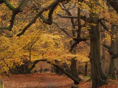 Beech-yellows