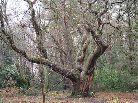 Old-Oak,-Chipperfield-Common