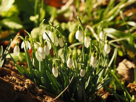 Snowdrops-and-sunshine