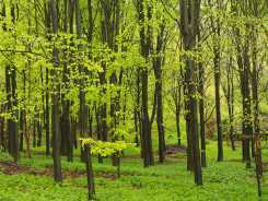 Beech greens and yellows