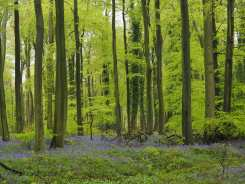 Crowell Wood and the bluebells