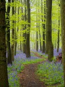 Through the bluebells, Crawley Wood, Ashridge