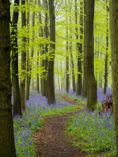 Through the bluebells, Crawley Wood, Ashridge