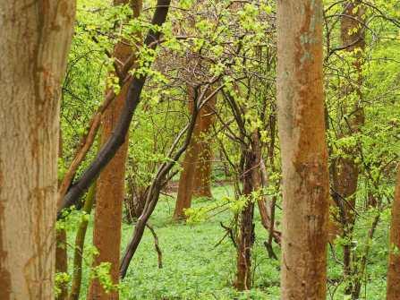 Wild Garlic in Crowell Woods, Buckinghamshire