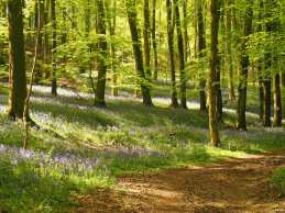 Bluebell carpet in Queen Wood