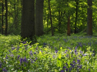 Bluebells in the shadows, Whippendell Woods, Hertfordshire