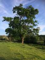 Old Oak, Sarratt Bottom