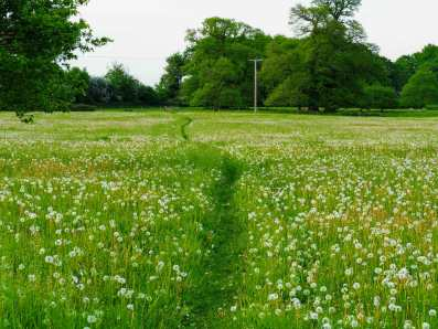 Through the dandelions