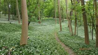 Wild Garlic, The Coombe, Ashridge