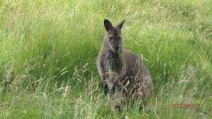 Whipsnade Wallaby