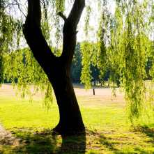 Weeping Willow, Haste Hill Golf Course