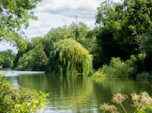 Weeping Willow, River Thames, Goring