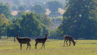 Woburn Deer
