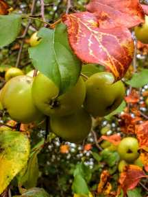 Autum fruit