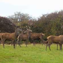 Knebworth stags