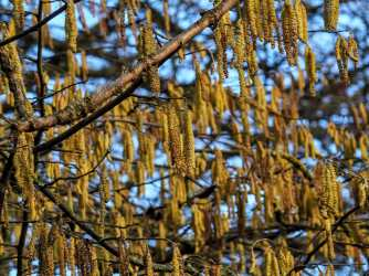 Yellow and blue, catkins