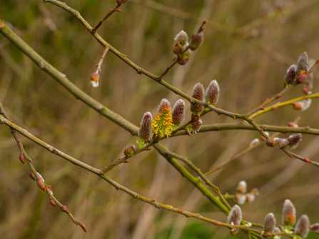 Catkins...again