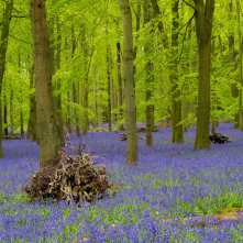 Cleared for bluebells