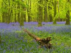 Crawley Wood, Ashridge