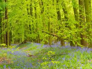 Spring on Ashridge
