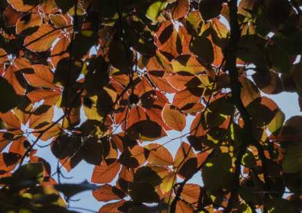 Copper beech