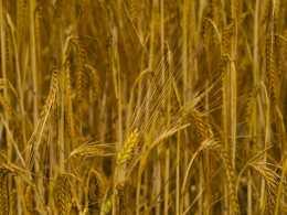 Ripe unto harvest